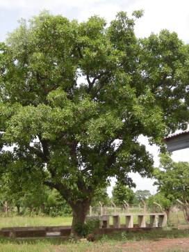 The shea tree has not been domesticated, in part because it takes a decade or more for the tree to mature sufficiently to bear fruit.